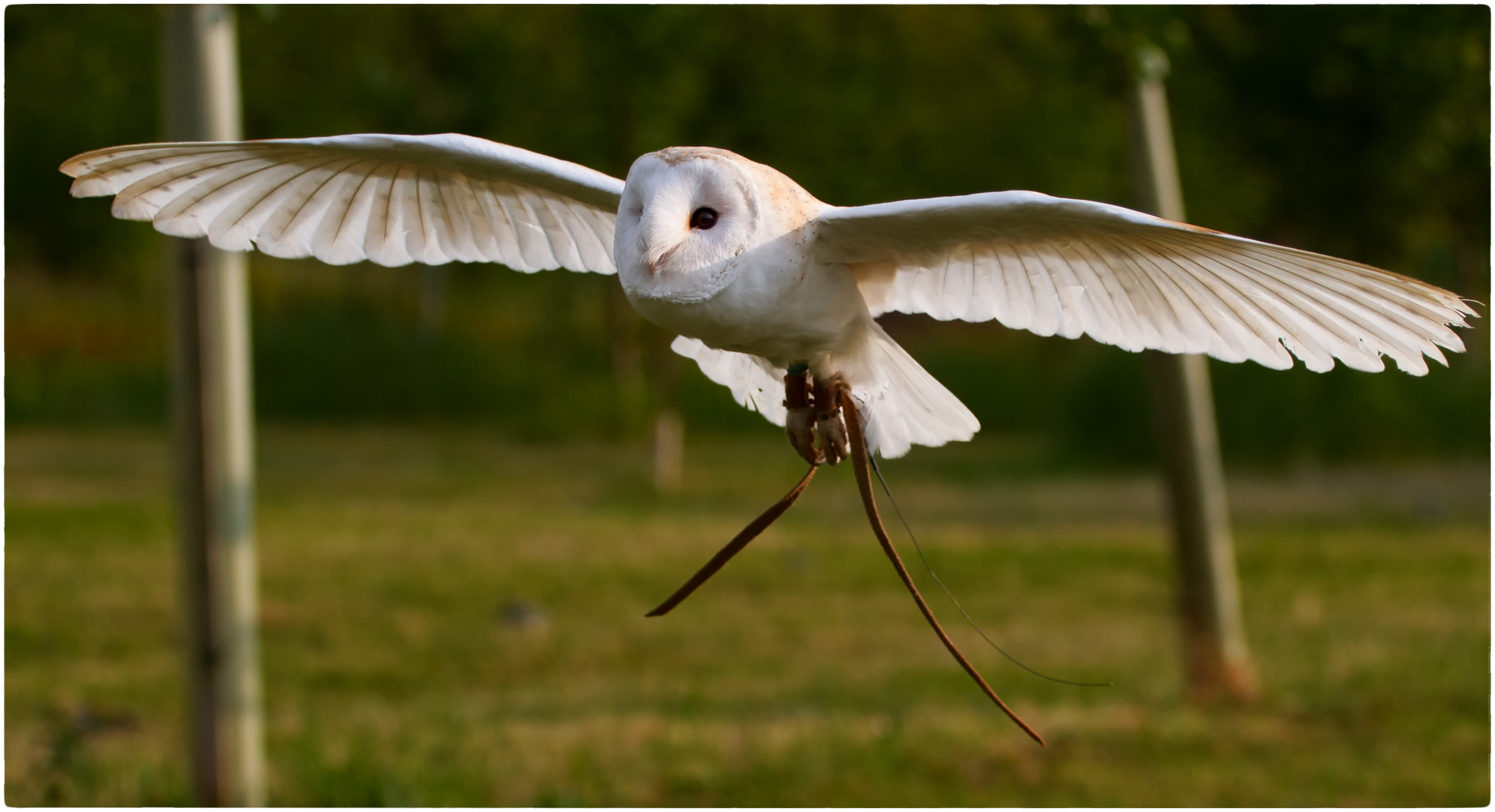 molly_barn_owl_ring_bearer