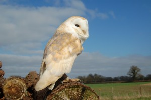 molly barn owl ring bearer